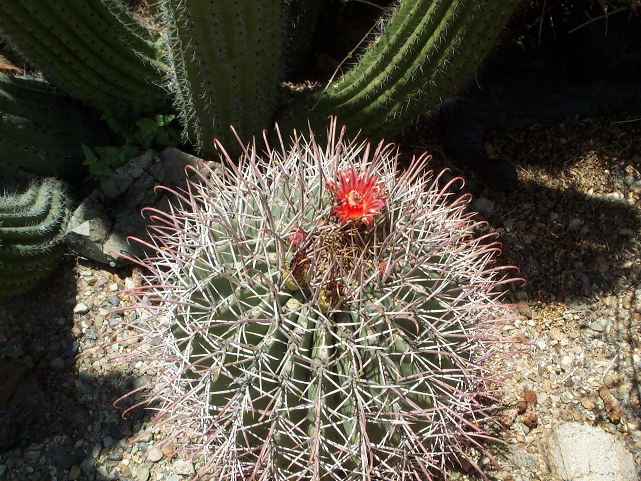 Libochovice – Výstava kaktusů a sukulentů